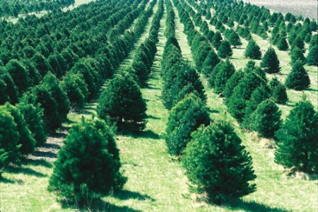 Christmas tree farm in Iowa.
