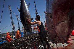 Decreto ripartizione quote tonno rosso. Attenzione assegnazione quote per non penalizzare pesca siciliana